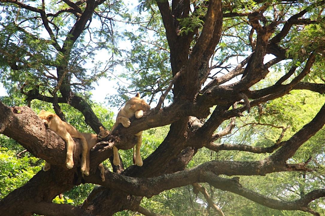The famous tree climbing lions of Lake Manyara National Park